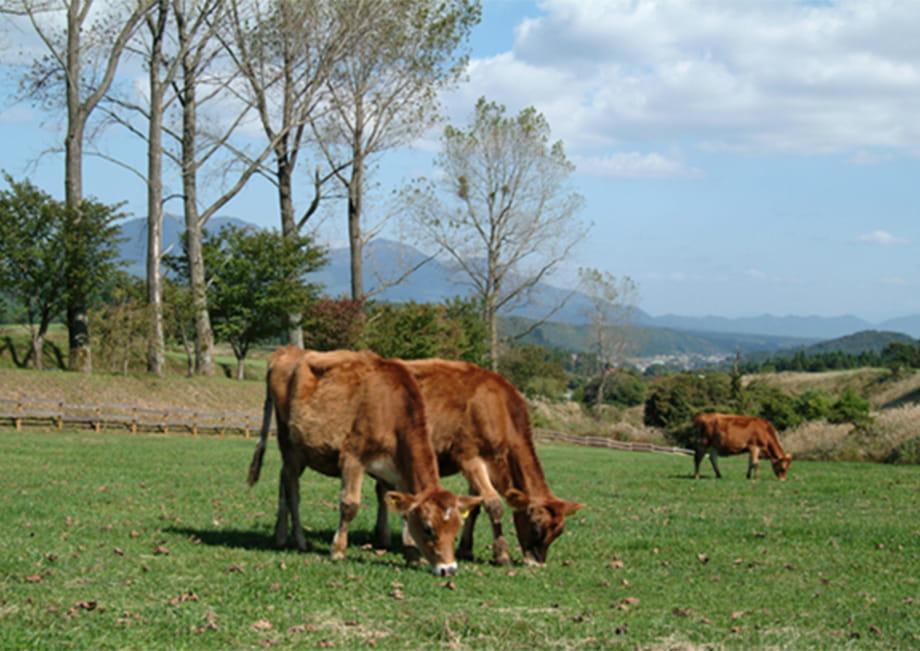 ジャージー牛を放牧している蒜山高原